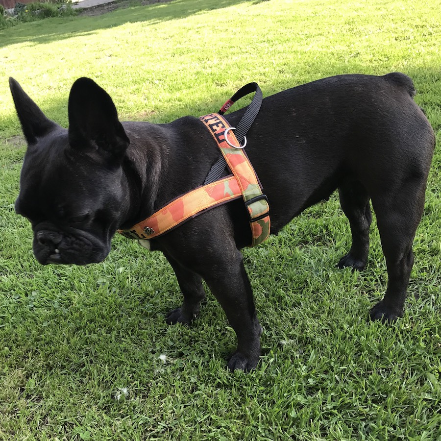 Frenchie Harness Orange Camo