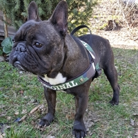 Frenchie Harness Green Camo